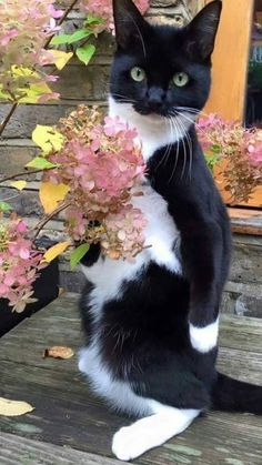 "Tuxedo cat owners often claim that their tuxie has a unique personality, much like tortoiseshell cat lovers talk about ""tortitude."" While torties are notoriously finicky and sassy, tuxedo cats have a different type of attitude, or a ""tuxitude. Cute Cats And Kittens, I Love Cats, Crazy Cats, Cool Cats, Kittens Cutest, Cute Baby Cats, Ragdoll Kittens, Funny Kittens, Bengal Cats"