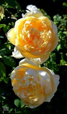 'Charlotte'   David Austin English Rose. Austin 1993   Flickr - © Ingrid Van Streepen