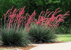 Texas Red Yucca Hesperaloe parviflora 25 desert by SmartSeeds
