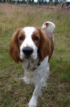 Welsh springer...woah!  Anyone else think Bailey could be a brittany/welsh mix?