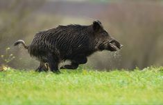 Cinghiale, running for its live?