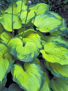 Best hostas for a shade garden area? Having a tough time growing plants under trees or shrubs. common problem - solution add hosta plants thrive in shade. Hostas For Shade, Shade Garden Plants, Hosta Plants, Garden Shrubs, Flowers Perennials, Planting Flowers, Flowers Garden, Garden Paths, Plantain Lily
