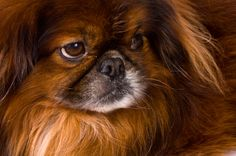 My Pekingese Is A Picky Eater: What To Do?    http://www.pekinews.com/my-pekingese-is-a-picky-eater-what-to-do/