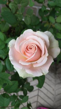 Beautiful Rose Flowers, Pretty Roses, Love Rose, Flowers Nature, Flower Garden Images, Rose Reference, English Roses, Flower Pictures, Nature Wallpaper