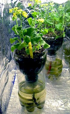 Made from recycled soda bottles these growing system are easy to build, use, and can be cleaned and reused for multiple years.