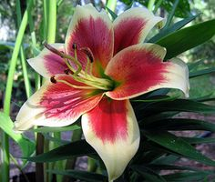 Altari-Oriental-Trumpet-Lily-2-Bulbs-16-18-cm-Bicolor