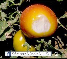 Γιατί Μαυρίζει το Κάτω Μέρος της Ντομάτας (Τάπα) & Τι μπορώ να Κάνω για να το Αντιμετωπίσω; - share24.gr Red Pigment, Ripe Fruit, Weird Shapes, Horticulture, Flora, Plants, Tomatoes, Gardening, Garden Planning
