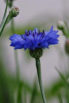 Cornflowers / Chaber Kwitnie od końca maja do sierpnia. Dla pszczelarzy najbardziej wartościowym jest chaber górski (centaurea montana), który można rozmnażać przez podział przez całe lato. Chaber bławatek (Centaurea cyanus) - rośnie głównie w zbożach na glebach lekkich. Kwiaty brzeżne szafirowe, stosowane w lecznictwie. Dostarcza dużo nektaru i pyłku. W okresie kwitnienia czynne są również nektarniki pozakwiatowe na górnym okółku listków okrywy koszyczka, po przekwitnieniu na okółku…