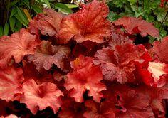 Klehm's Song Sparrow Farm and Nursery--Shade Perennials--Heuchera 'Rio' PP24,273