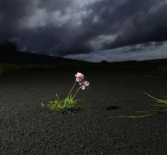 flowers, black sands, Iceland Ragnar Sigurdsson on Flickr