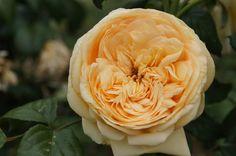 Lioness GrandiRosa - Ludwig's RosesLudwigs Roses