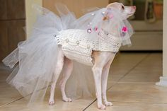 this is my (Randi Elrod) dog Daisy... well she is my mom's. Anyways, I made her a bride costume for Halloween. My weenie dog Ziggy is going to be the groom. (pics to come). the body of the dress is crochet with white yarn (own pattern). The bottom of the dress is white tulle and white/glitter tulle - made like a tutu from bottom row of triple crochet the veil is made with thin elastic, white tool, and decorative flowers (hot glue gun is needed). forgot the garter for the picture but she has…