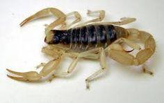 Arizona Scorpian...