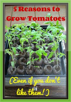 Mixed Bag Mama: 5 Reasons to Grow Tomatoes (Even if you don't like them!)
