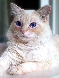 Resultado de imagen de gato ragdoll