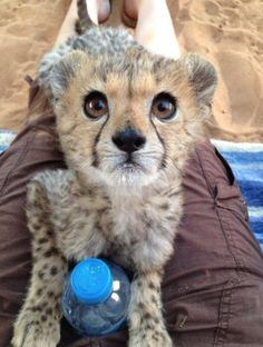 So baby cheetahs are adorable.