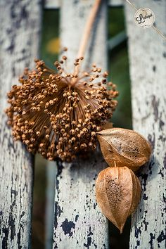 Dried flowers by l'estropié on flickr. Brown seed pods. Chipped wooden fence
