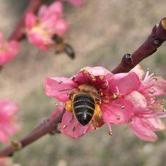 Abeja en flor del melocotonero