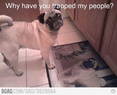 poor pug.