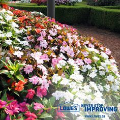 Sunpatiens are the perfect Impatiens plant. They thrive in full sun and also bring their color to your shady gardens. Partial Shade Perennials, Shade Annuals, Flowers Perennials, Shade Plants, Flowers That Like Shade, Pretty Flowers, Sun Flowers, Foliage Plants, Everything