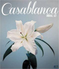 """Casablanca"" Oriental Lily. #americangrown, #originmatters, #CAFlowers"