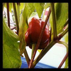 """@rogerluzern's photo: """"Innert 3 Monaten ist es vorbei mit Grün und Rot hat die Augenmacht übernommen."""" Stuffed Peppers, Vegetables, Pictures, Instagram, Food, Photos, Stuffed Pepper, Veggies, Essen"""