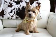 Norwich Terrier Pippa! | Flickr - Photo Sharing!
