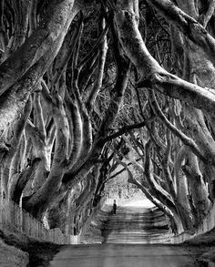 'The Dark Hedges'