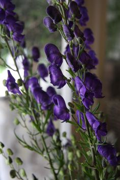 Monkshood - It has beautiful purple flower spikes. It contains the deadly poison aconitine which slows heart rate decreases blood pressure and numbs pain. Shade Garden, Garden Plants, Purple Garden, Purple Flowers, Wild Flowers, Poison Garden, Gothic Garden, Poisonous Plants, Language Of Flowers