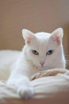 What a beautiful white cat. Is that one blue eye and one green-yellow eye I see?