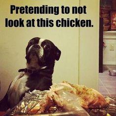 boston terrier chicken meme