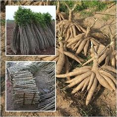 Manihot esculenta 10 Cuttings, Cassava (Varieties Rayong 5), Tapioca plant, 12'' -- Awesome products selected by Anna Churchill