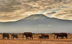 A herd of elephants walk in front of Mount Kilimanjaro in Amboseli National Park, Kenya.