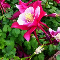 Red Columbine at Lafayette Florist Gift Shop and Garden Center, Colorado in the greenhouse !!!