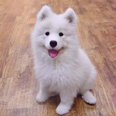 Fluffy Fabulous Friday!!! ⛅️Marshy #samoyed #friday #puppylove #puppies