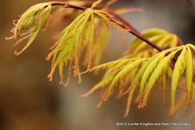 Acer palmatum 'Shigure bato'