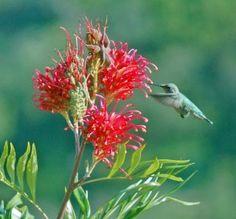 Hummingbirds love Grevillea too! #CaGrown #OriginMatters #AmericanGrown