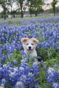 Husky and Golden Retriever Mix puppy in bluebonnets. Just a normal spring in Texas!