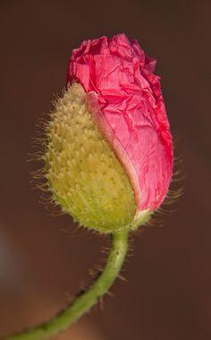Poppy flower bud ~ By Hans Mehr