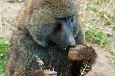 Close-up of baboon eating grass