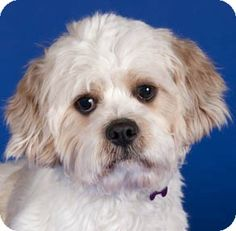 Chicago, IL - Cavalier King Charles Spaniel/Shih Tzu Mix. Meet Kevin a Dog for Adoption.