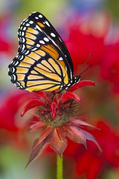 The Viceroy Butterfly, Limenitis archippus, photography by: Darrell Gulin