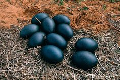 Emu eggs in a nest - Australia