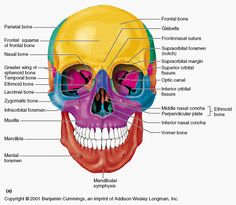 ANTPHY 1 Study Guide Lehning) - Instructor Lehning at Jamestown Community College - StudyBlue Anatomy Bones, Head Anatomy, Anatomy Study, Bones Of The Head, Skull And Bones, Skull Game, Human Skeleton Anatomy, Anatomy Flashcards, Facial Bones