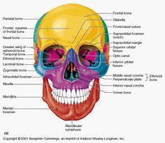 Diagram of the bones in the head Anatomy Bones, Head Anatomy, Brain Anatomy, Human Anatomy And Physiology, Medical Anatomy, Anatomy Study, Dental Anatomy, Anatomy Flashcards, Study Flashcards