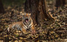 Rise and shine... - Yawning tigress at Kabini, Nagarhole tiger reserve.
