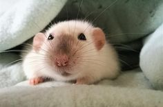 Rest in peace my sweet Miepie #aww #cute #rat #cuterats #ratsofpinterest #cuddle #fluffy #animals #pets #bestfriend #ittssofluffy #boopthesnoot