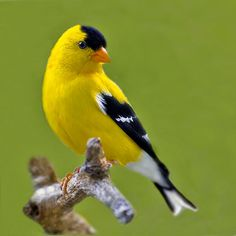 American Goldfinch - we have several pairs visiting our backyard; they are so beautiful....