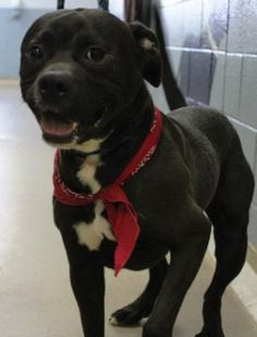 ★7/1/15 SL★Petango.com – Meet Duke, a 2 years 9 months Terrier, Pit Bull / Mix available for adoption in Spartanburg, SC Address 150 Dexter Road, Spartanburg, SC, 29303 Phone (864) 583-4805 Website http://www.spartanburghumane.o rg Email adoptions@spartanburghumane.or g