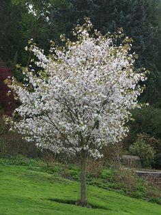Prunus serrulata var. spontanea Kinesisk bergkörsbär